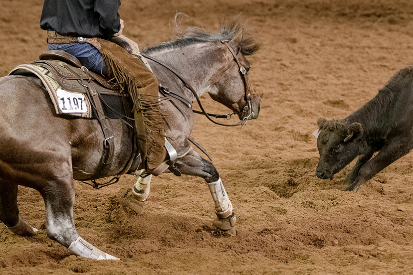 bay roan horse cutting a cow at the AQHA World Show (Credit: Kirstie Marie Photography for AQHA)