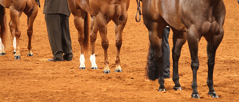 close up of halter horse front and hind legs