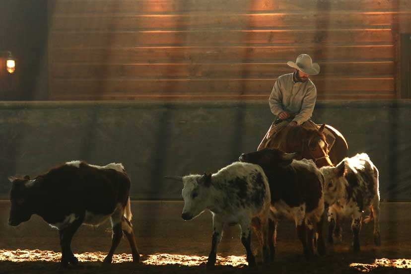 A male cowboy rides a sorrel horse behind roping steers in an indoor riding arena.