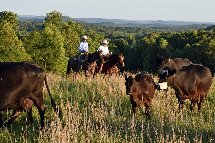 Two cowboys ride horses amongst cattle in a grassy field at K2 Ranches in Arkansas
